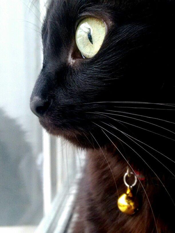Gaua, chantilly tiffany cat