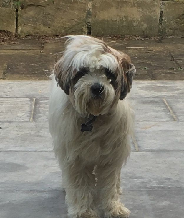 Maisie The Tibetan Terrier Tibetaanse Terrier Terrier Honden