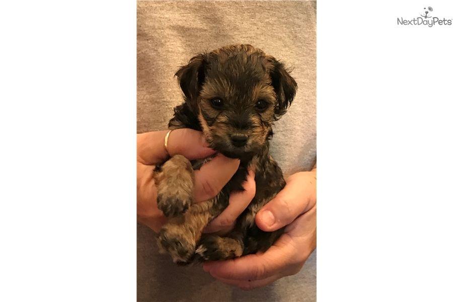 Yorkiepoo Yorkie Poo puppy for sale near Lancaster