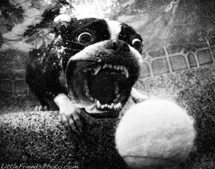 Black and white photo of a Boston Terrier dog diving to catch a ball that is thrown in the pool water. This photography is captured by Seth Casteel (from Los Angeles) which is one of the most published pet photographers in the world. *Featured on www.bterrier.com