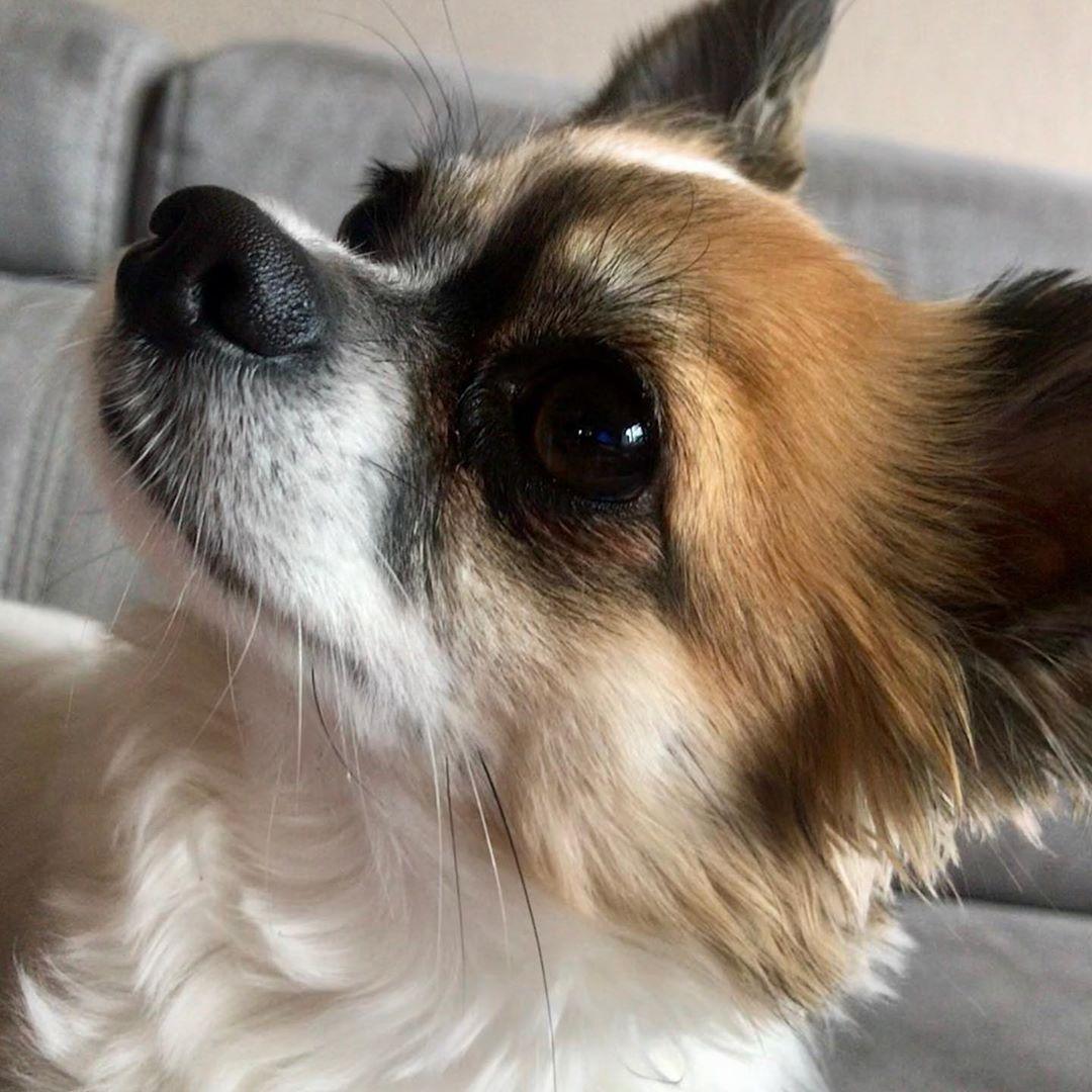 Chihuahua Chihuahuas Chihuahuasofinstagram Chihuahua Feature