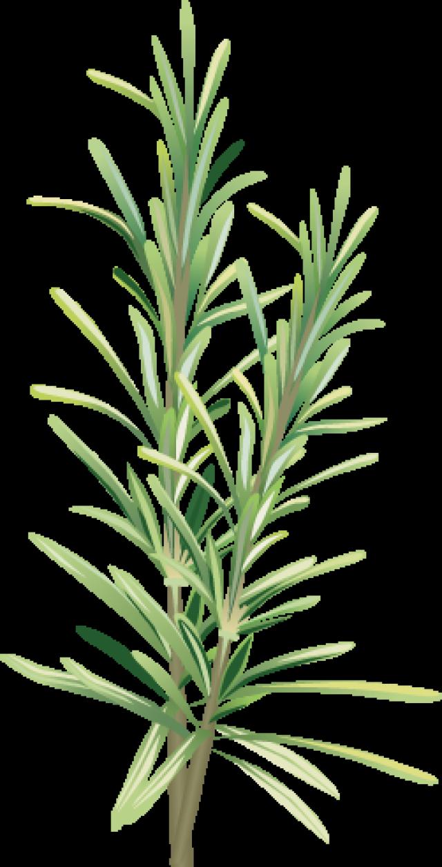 Photoshop Herbs Illustration Botanical Art Art