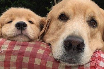 31 Most Adorable Goldens Of 2015