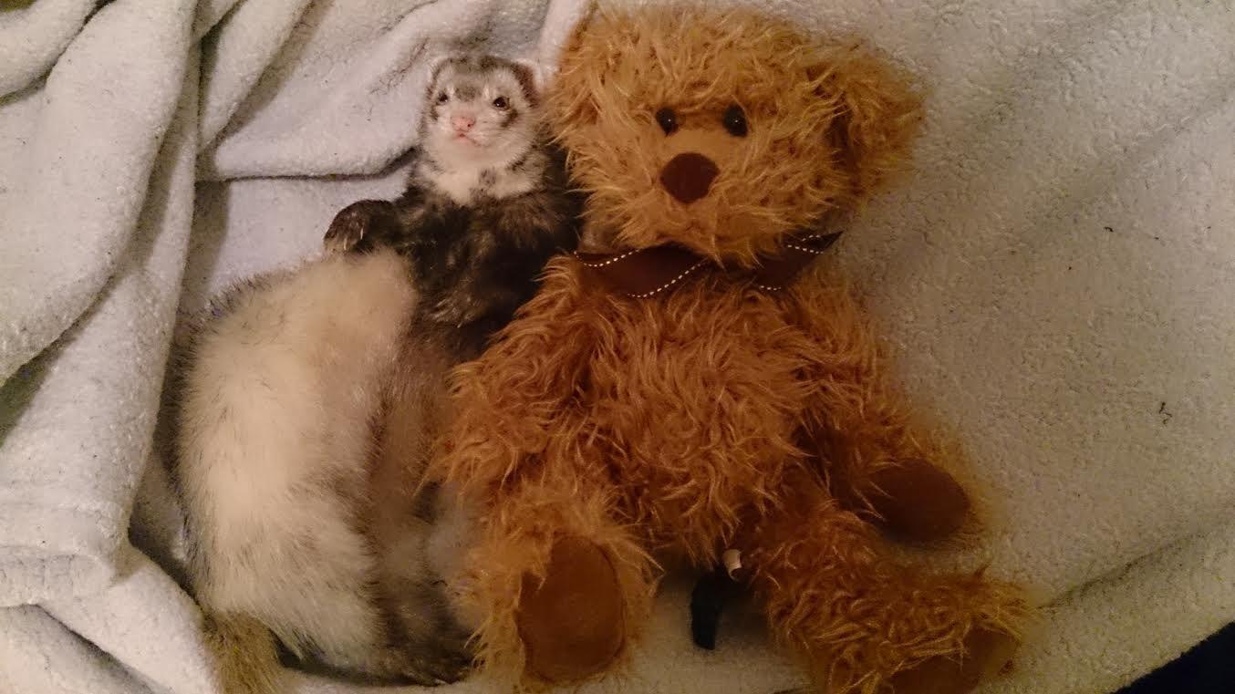 Teddy and a ferret...