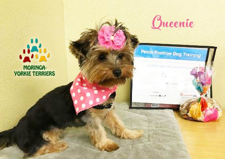 Moringa Yorkie Terriers Reviews Moringa Yorkie Reviews Yorkie