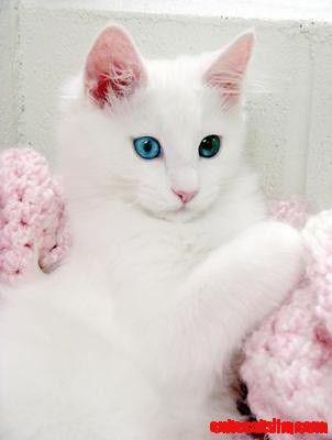 Turkish Angora kitten - http://cutecatshq.com/cats/turkish-angora-kitten-2/
