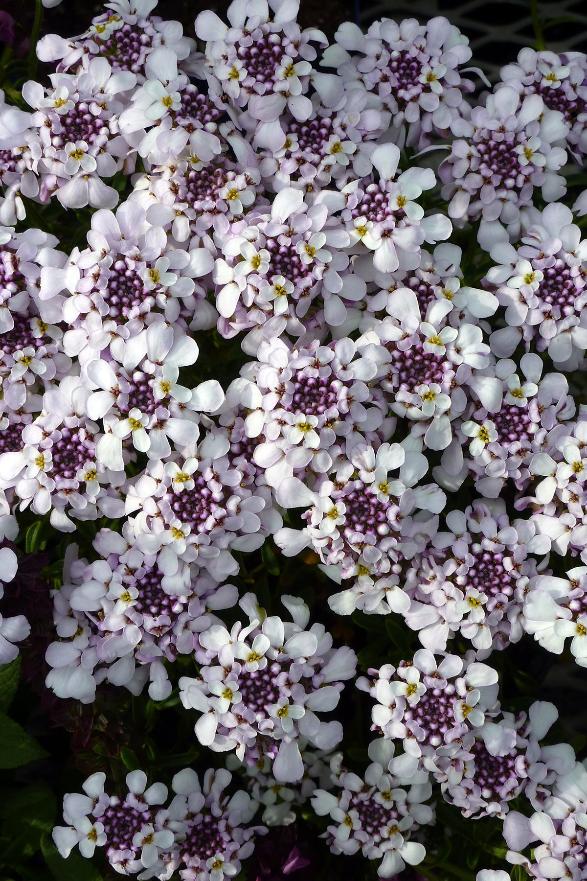 A Sweet Twist On A Garden Favorite Pink Ice Candytuft Blooms April July And Is Evergreen Iberis Sempervirens Bloom Flowers Sempervirens