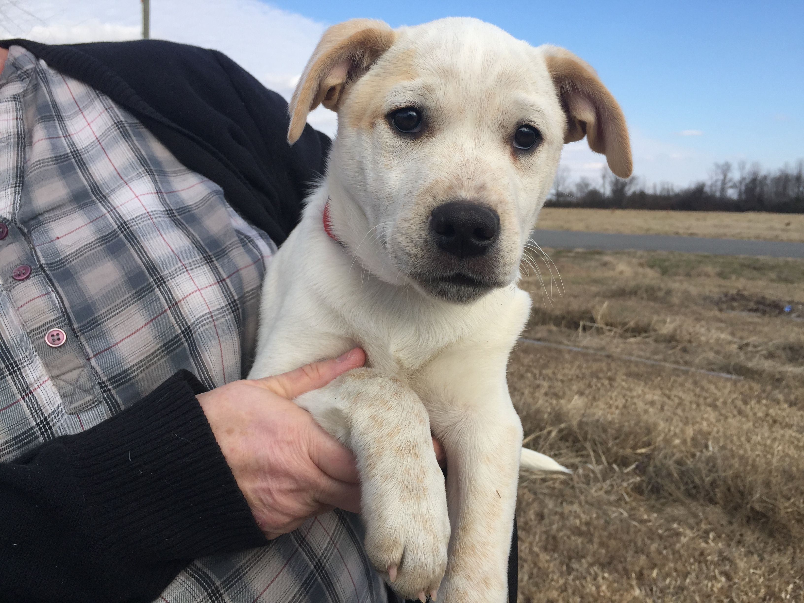 Adopt Marie On Labrador Retriever Labrador Pets