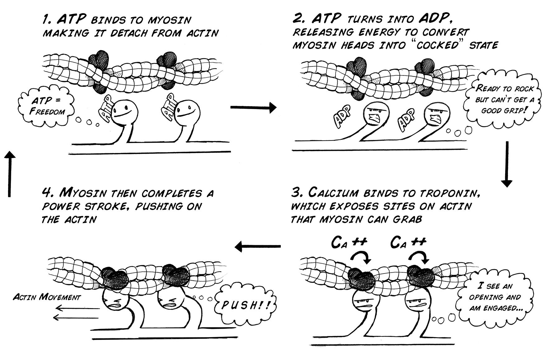 Experiment Muscle Contraction And Fatigue Good Animations