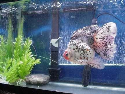 Fancy goldfish google search goldfish pinterest for Fancy fish tanks