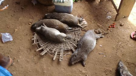 Greater Cane Rat A Traditional Igbo Delicacy Afrikan Diasporian