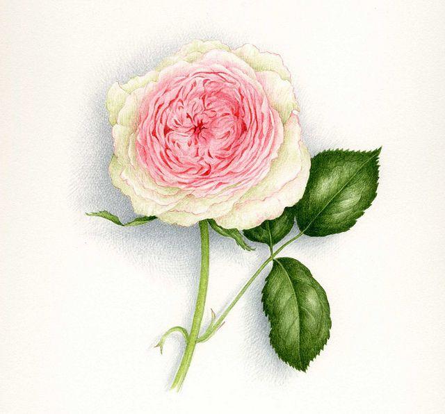 Rose Pierre De Ronsard Vincent Jeannerot Aquarelle Fleurs