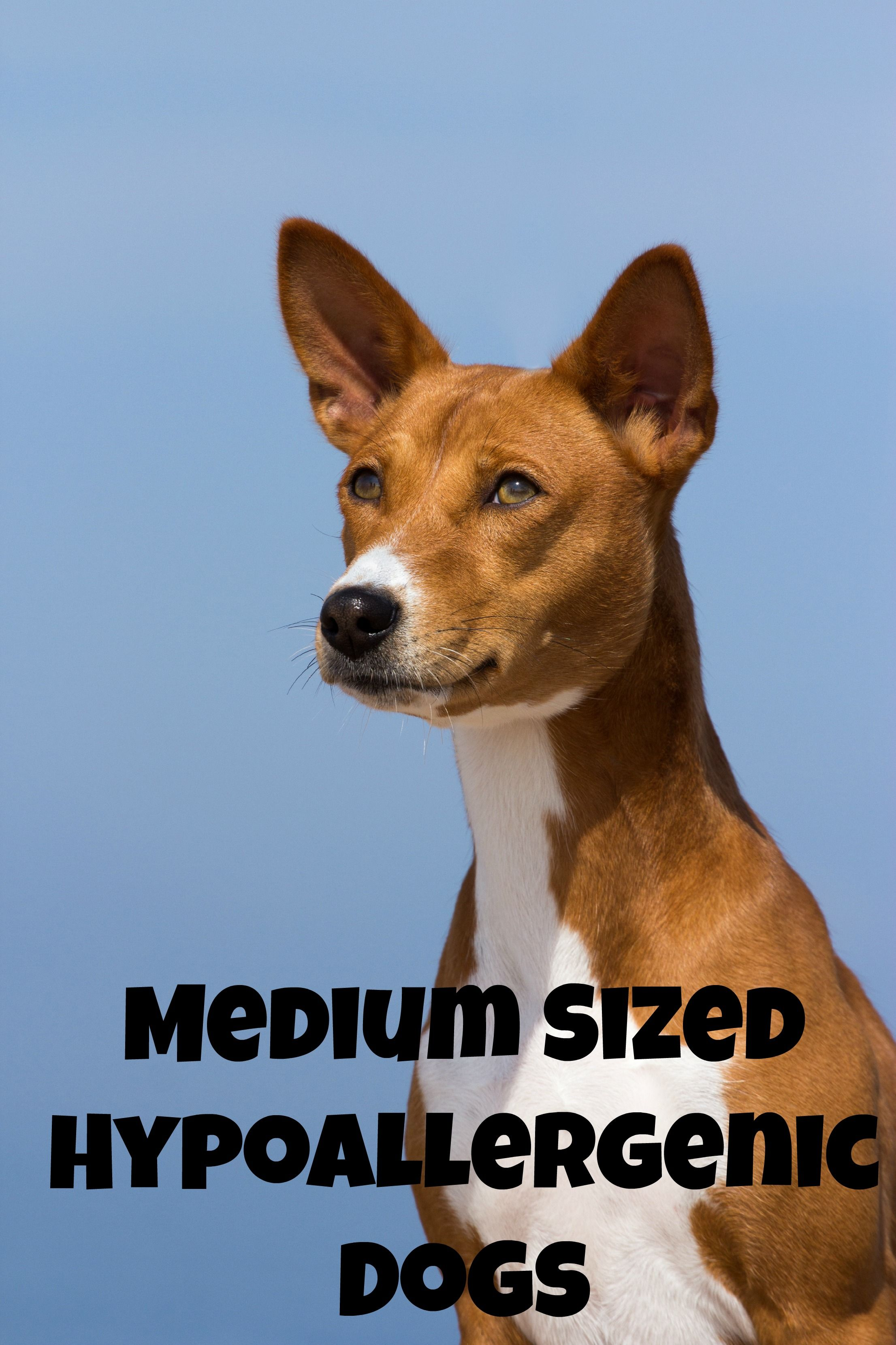 Medium Sized Hypoallergenic Dogs Say you, Locks and