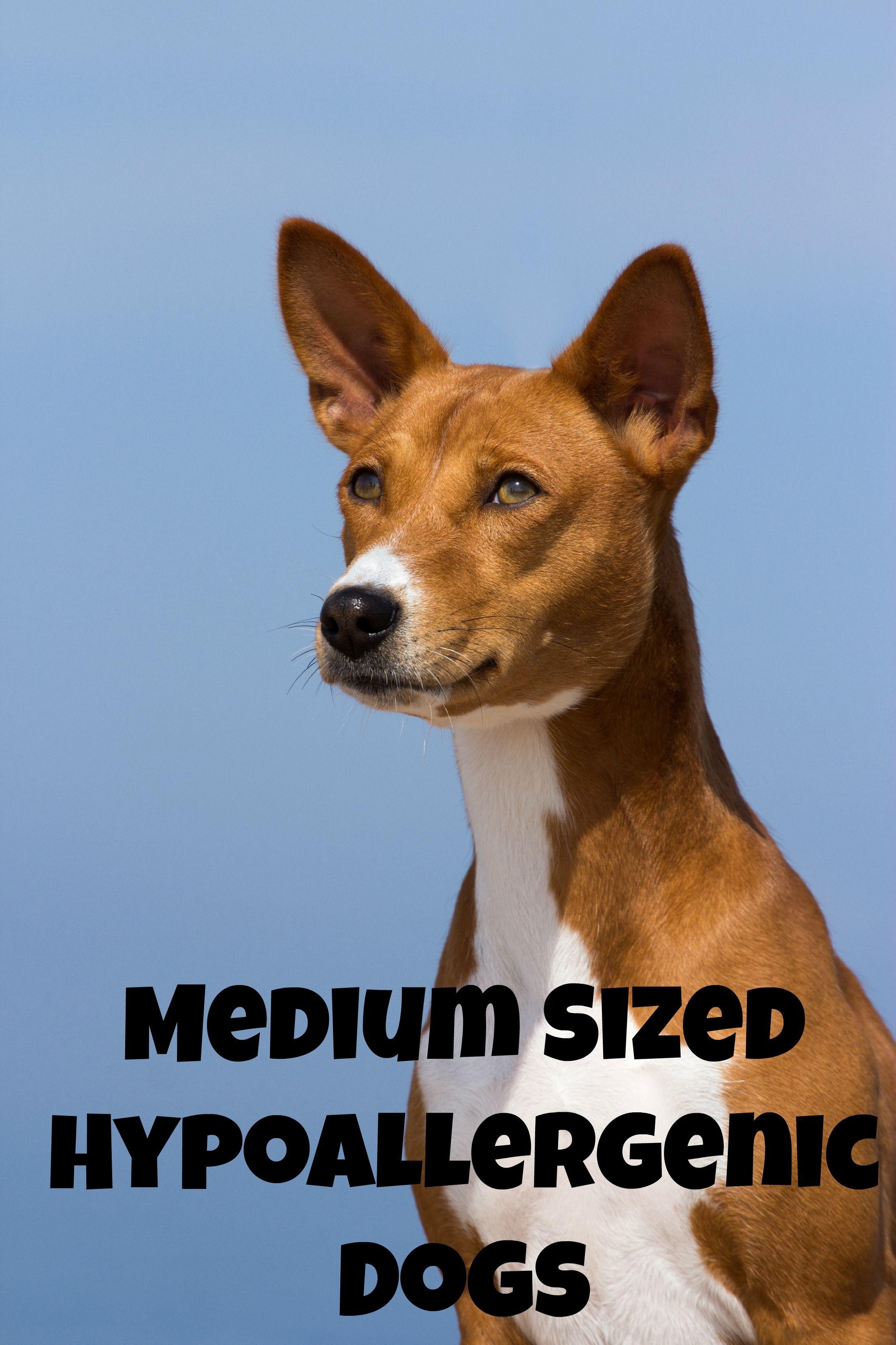 Medium Sized Hypoallergenic Dogs   Pinterest   Allergy free ...