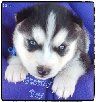 Litter Of 8 Siberian Husky Puppies For Sale In Quinlan Tx Adn