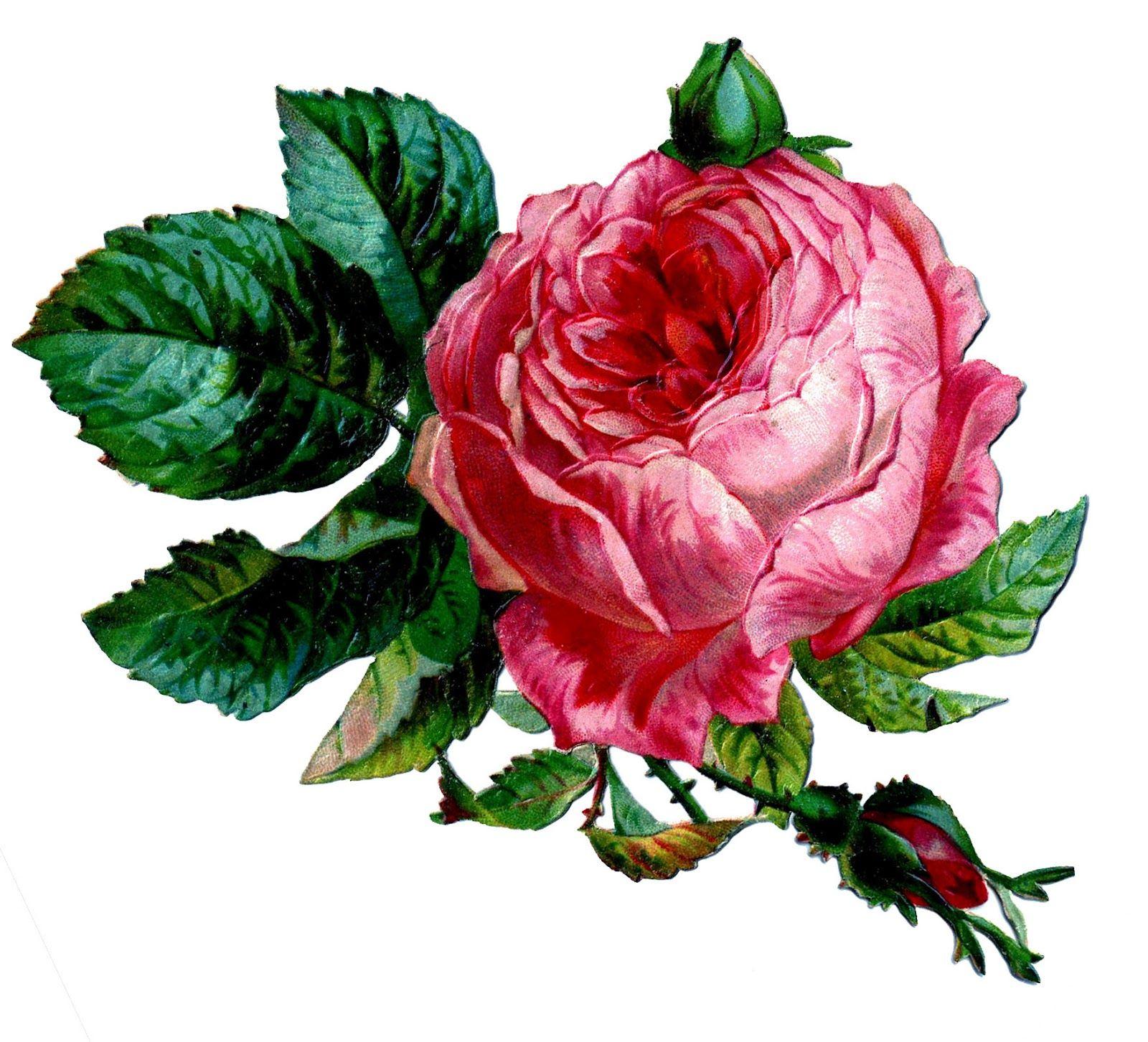 pink cabbage rose chromos d coupis pinterest aquarelle fleurs d coupage et violettes. Black Bedroom Furniture Sets. Home Design Ideas