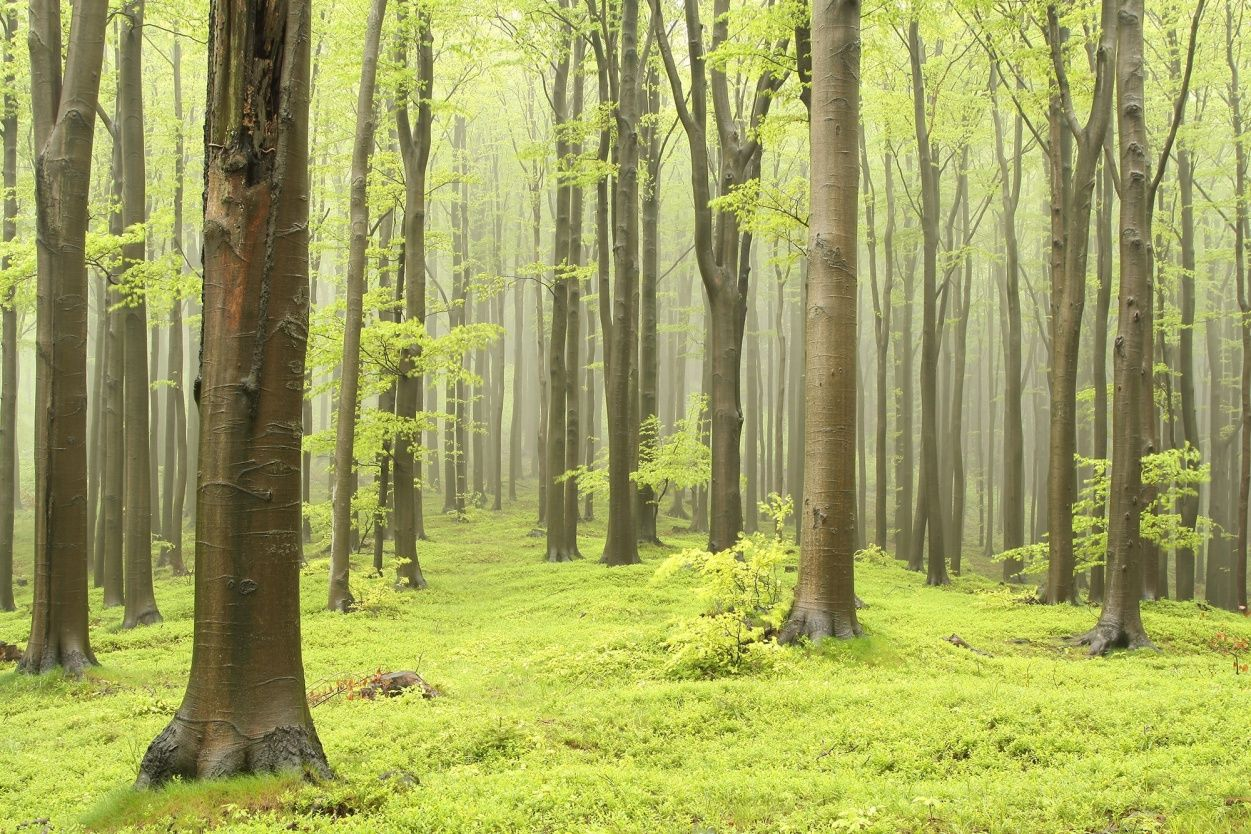 Deciduous Forest | Wall murals, Wallpaper and Walls