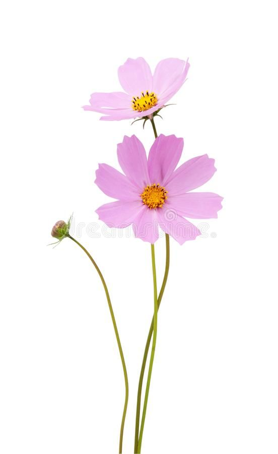 Cosmos Flower S Isolated On A White Background Saving Clipping Paths Aff Isolated White Cosmos Flower C Floral Photography Flower Images Flowers