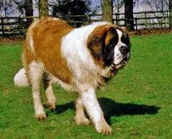 Dog Breeds With Pictures And Pricest Bernard