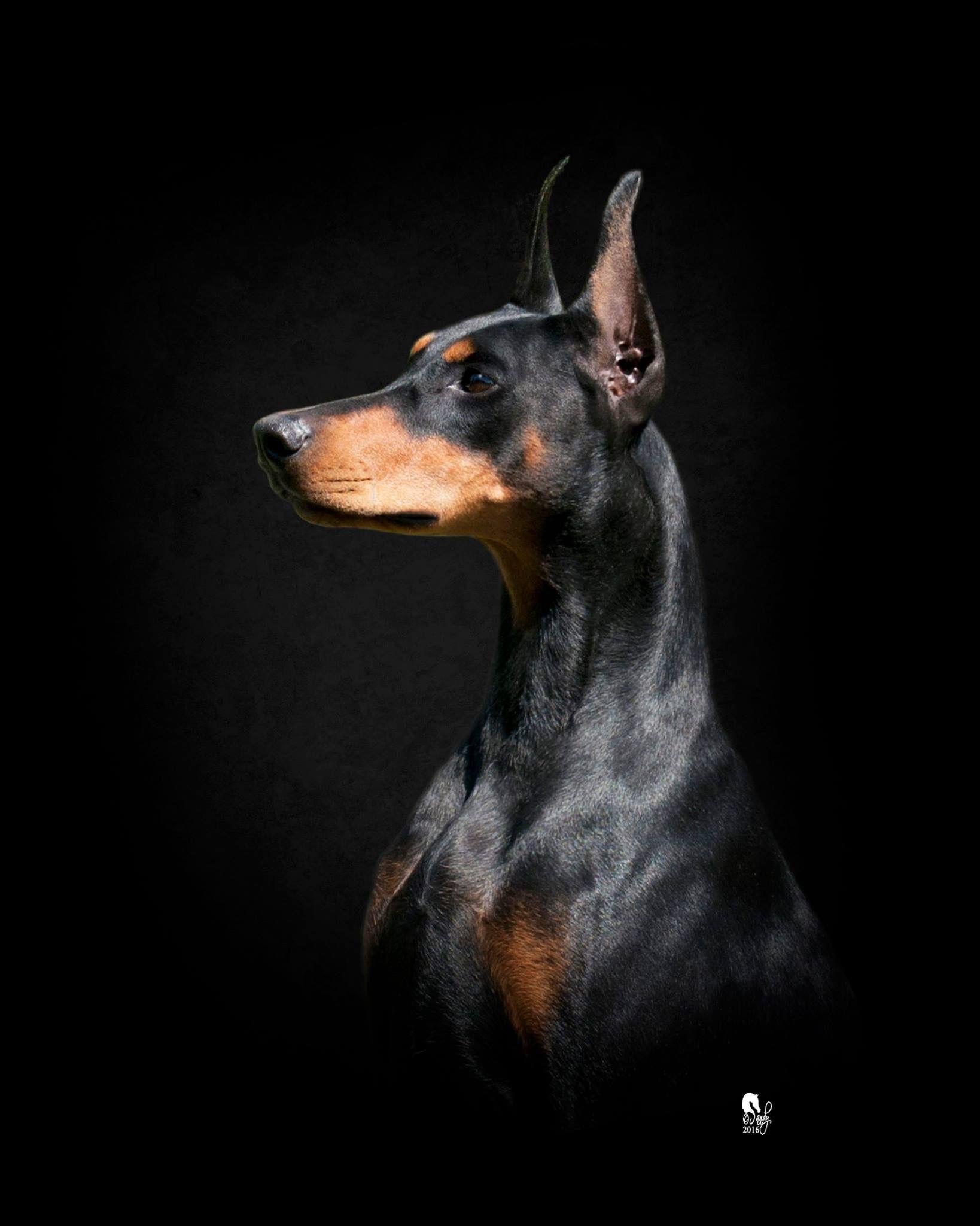 Pin By Anne Marie Barger On Dobies Doberman Dogs Doberman Pinscher Dog Doberman Doberman dog hd wallpaper