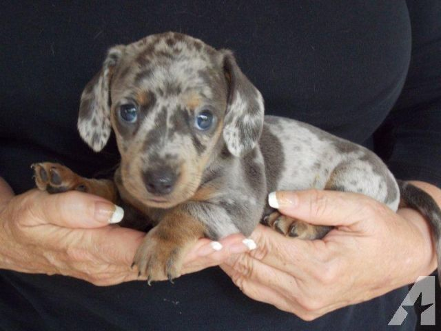 Akc Registered Male Blue Dapple Miniature Dachshund Puppy Rare