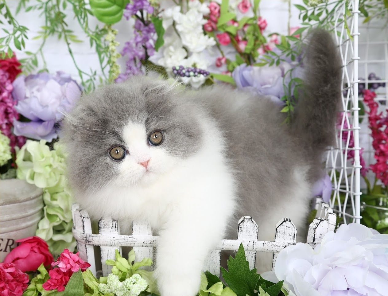 Hampton Click Here Persian kittens for sale, Cute cats