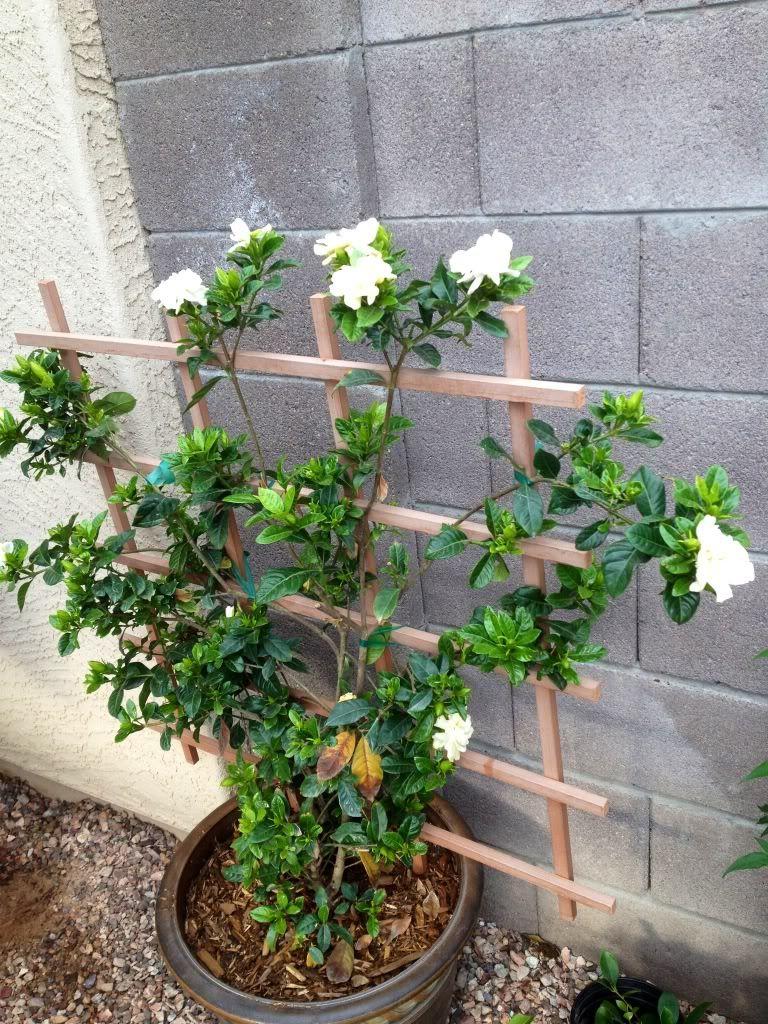 Gardenia Tree Hmmm Maybe We Will Make Ours Climb Patio Plants