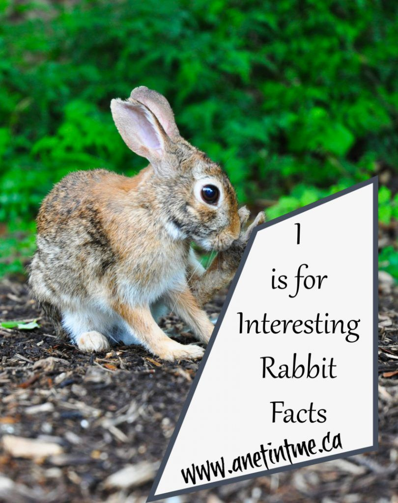 Interesting Facts About Rabbits - A Net in Time #abcblogging