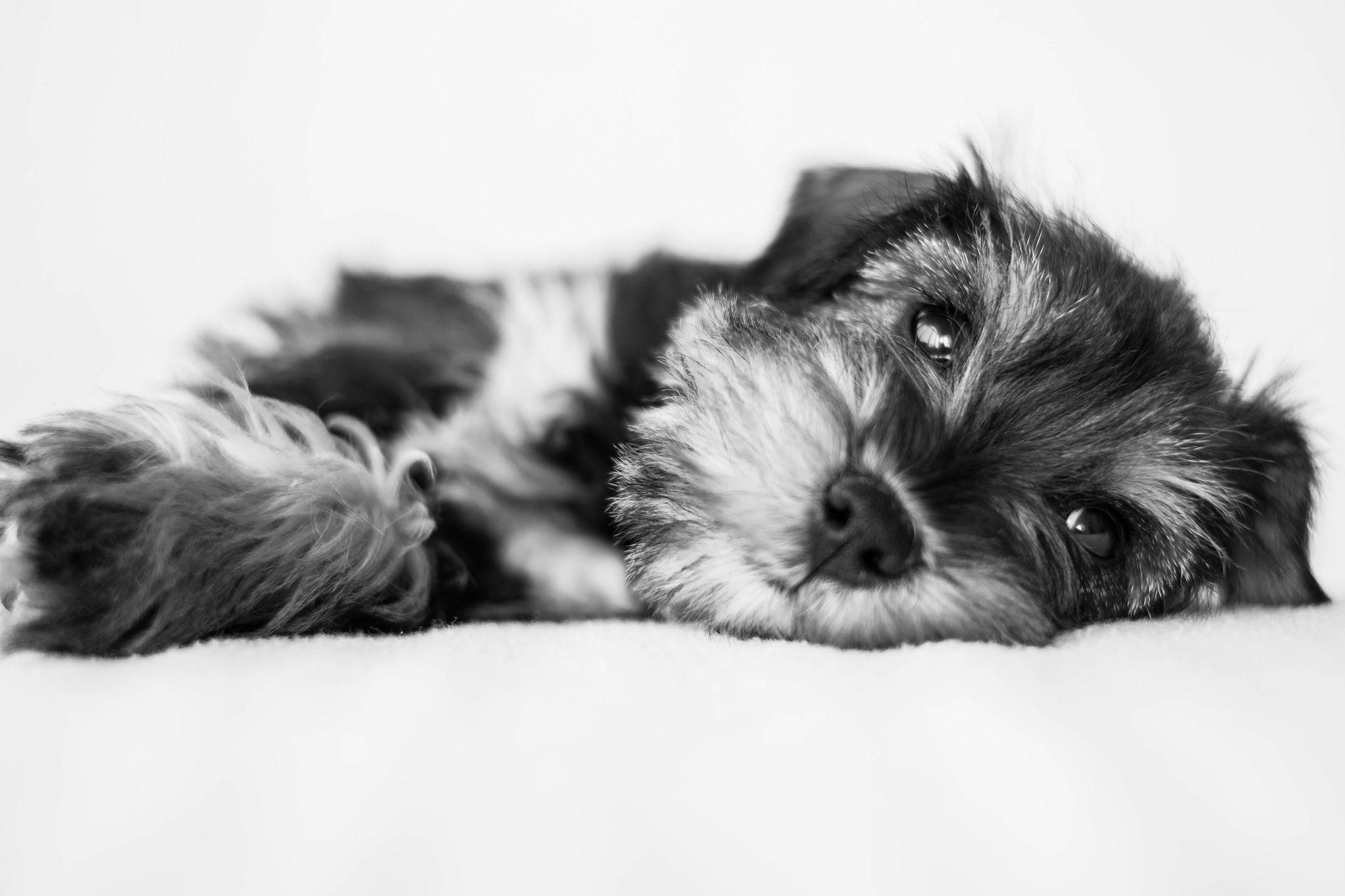 Bella miniature schnauzer miniatures and dog