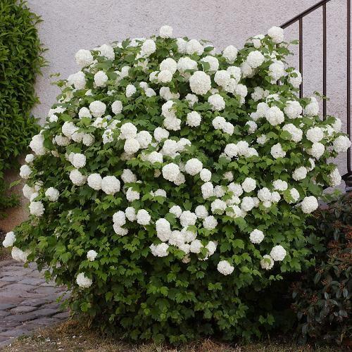 Viorne obier Rose, Boule de neige, Rose de Gueldre, VIBURNUM opulus ...