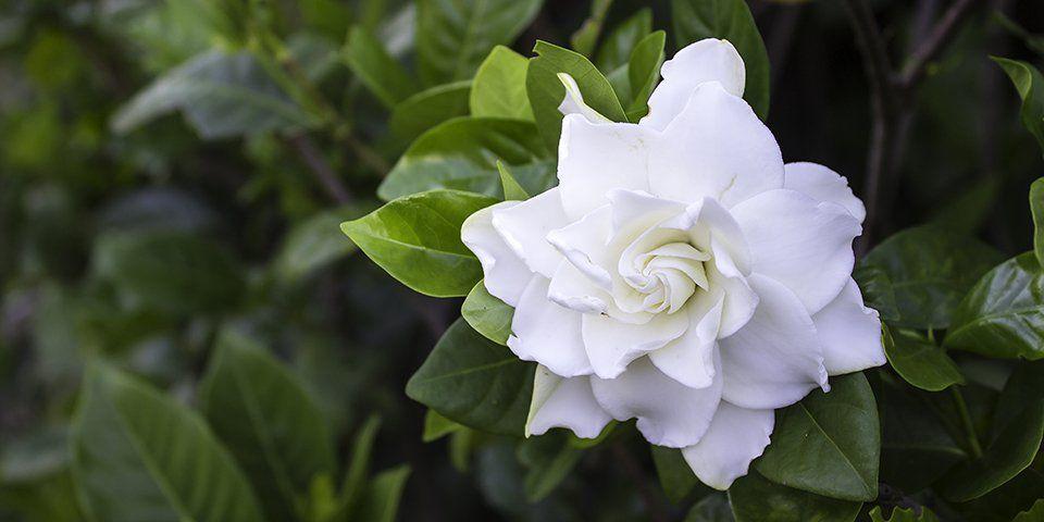Pin By N K On Gardenia In 2020 Gardenia Women Perfume Garden