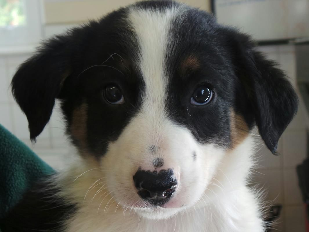 Jaff Is A Stunning Border Collie Pup Looking For His Special