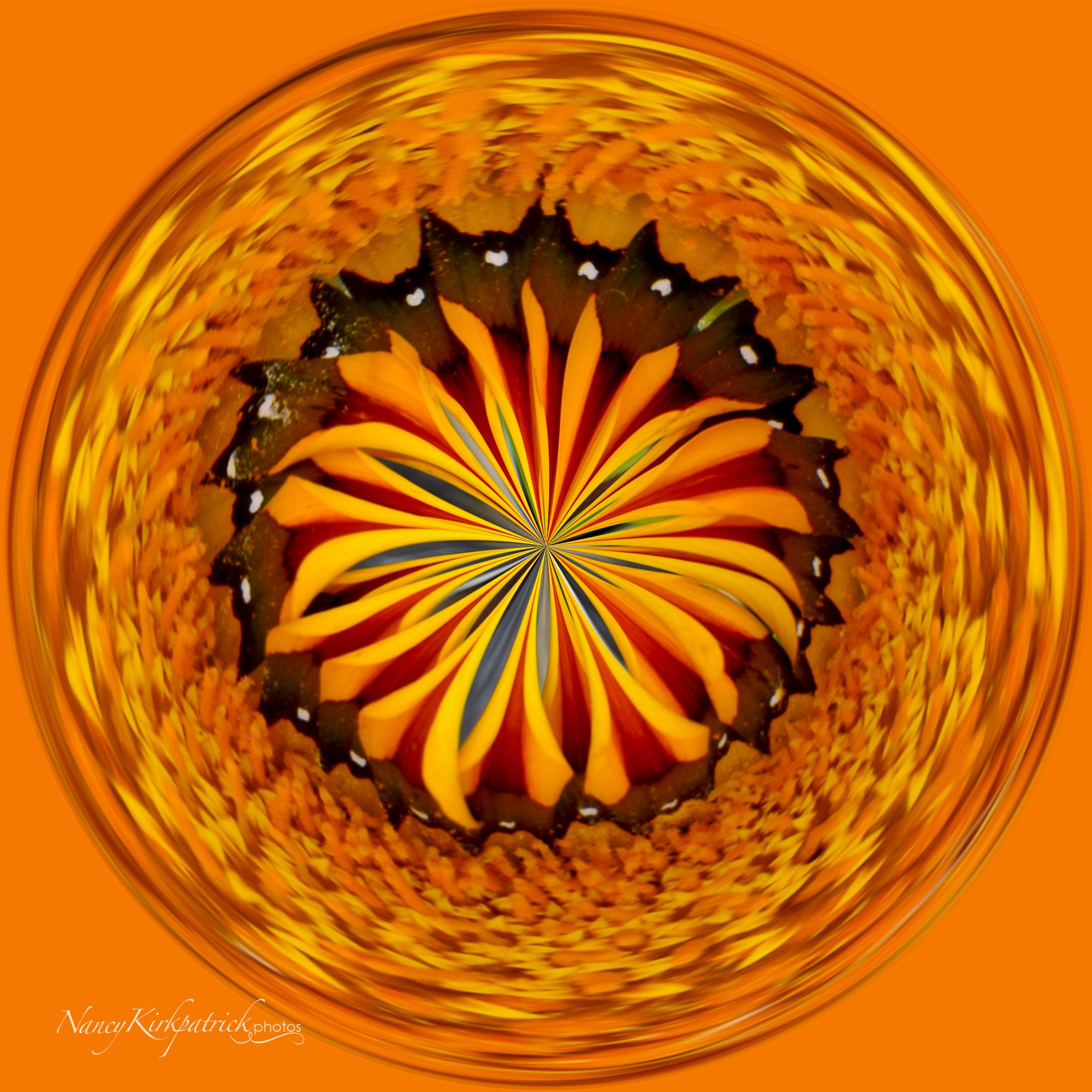 Amazing Circle - African Daisy.  Copyright Nancy Kirkpatrick Photography