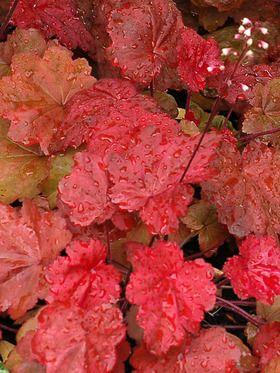 "Heuchera Autumn Leaves. Hardy to zone 4. Height: 14-18"", Spread: 12-14"". Deer resistant. Full sun to part shade. Salt tolerant."