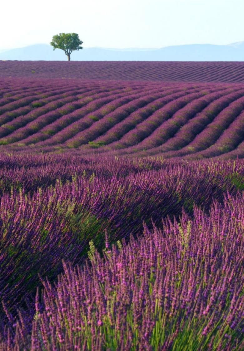 La Provence Couleur Lavande Sud Frenchriviera Landscape Lavender France Champs De Lavande Fond D Ecran Campagne Lavande