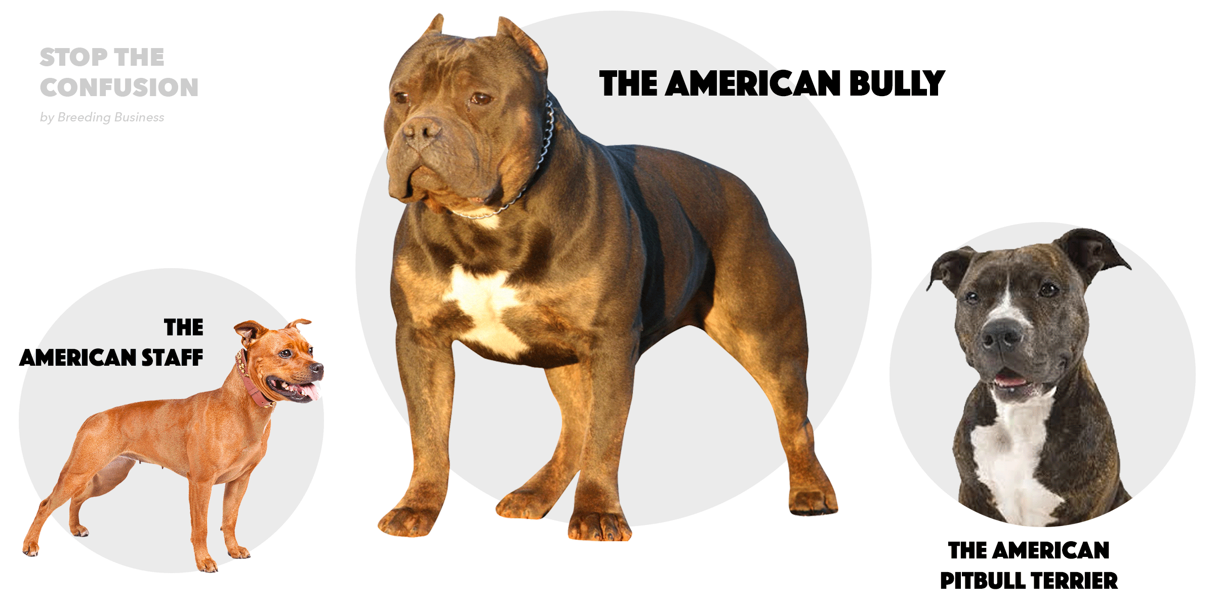 Differences Between Pitbulls Amstaff And American Bully Png 2400