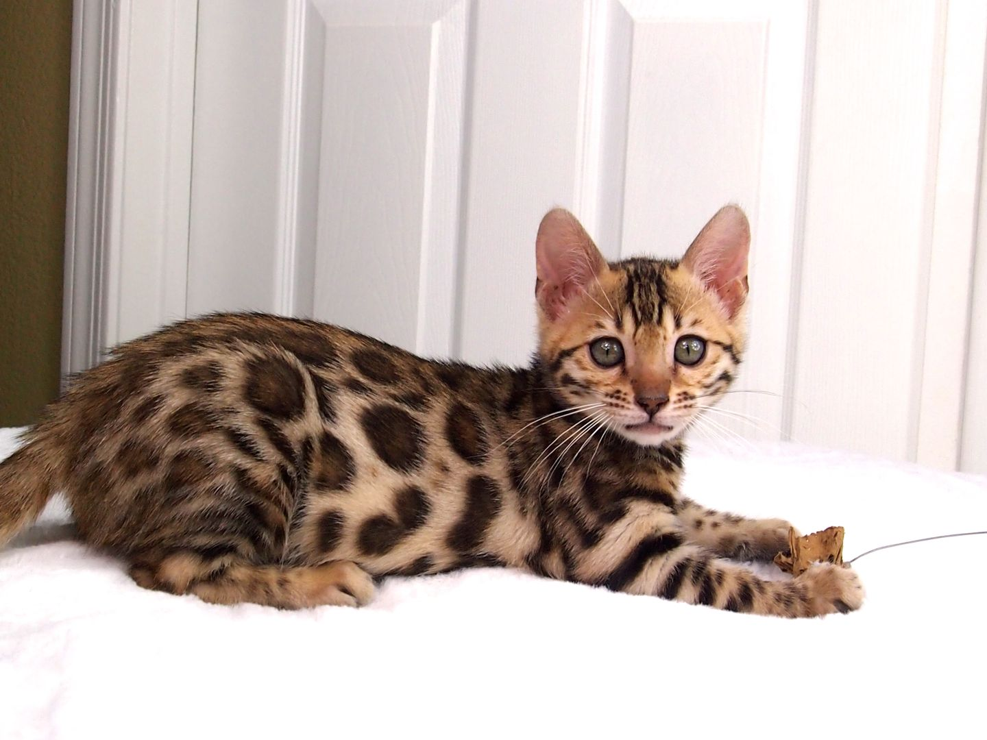 Pin by kemah buck on Scrapbook Bengal cat price, Bengal
