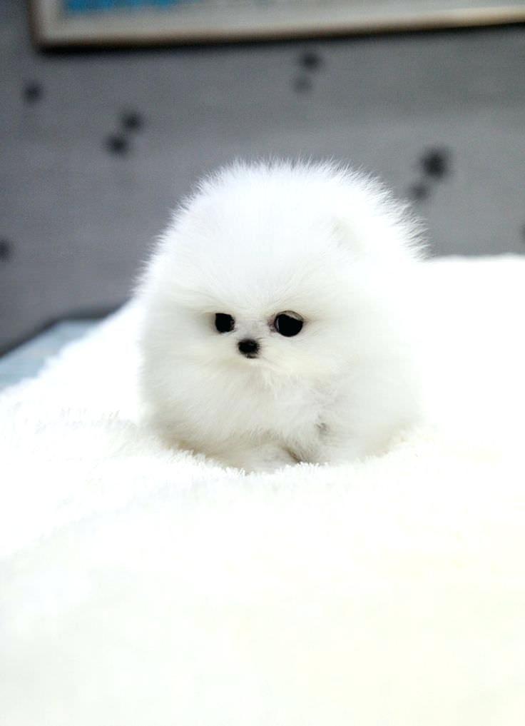 Micro mini pomeranian oh soooo cute i want teacup