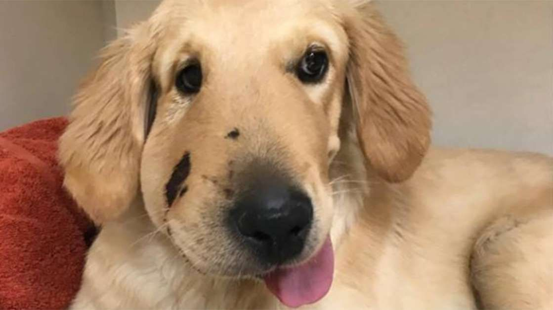 Woman Saved From Rattlesnake After Sweet Hero Puppy Jumps In Front Of Her Golden Retriever Puppy Jumps Dog Biting