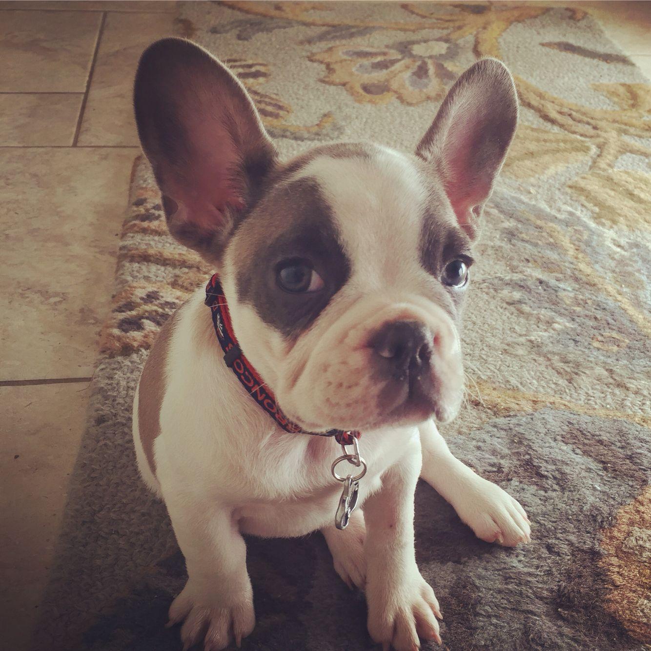 Frodo Blue Fawn Pied French Bulldog French Bulldog Pied