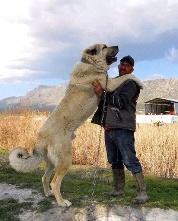 собаки породы волкодав