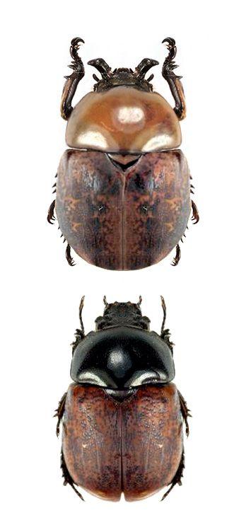 Dicaulocephalus tetsuoi