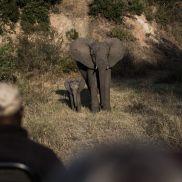 Tracking Instincts   krazywithtravel African Wild. Sabi Sand. Kruger National Park. Elephant