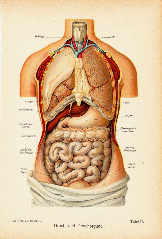 1919 Antique Anatomy Print Chest And Abdominal Organs 93 Years Old