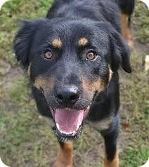 Image Result For Rottie Shepherd Mix Rottweiler Mix Dog