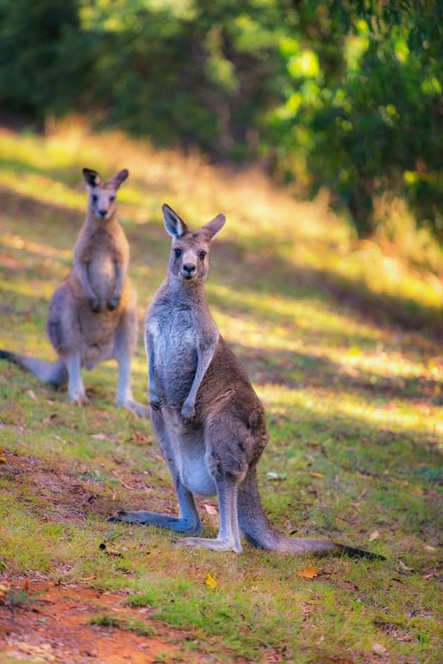 Pin De Juan Pablo Atehortua En Kanguros Animales Y Mascotas Canguros Animales