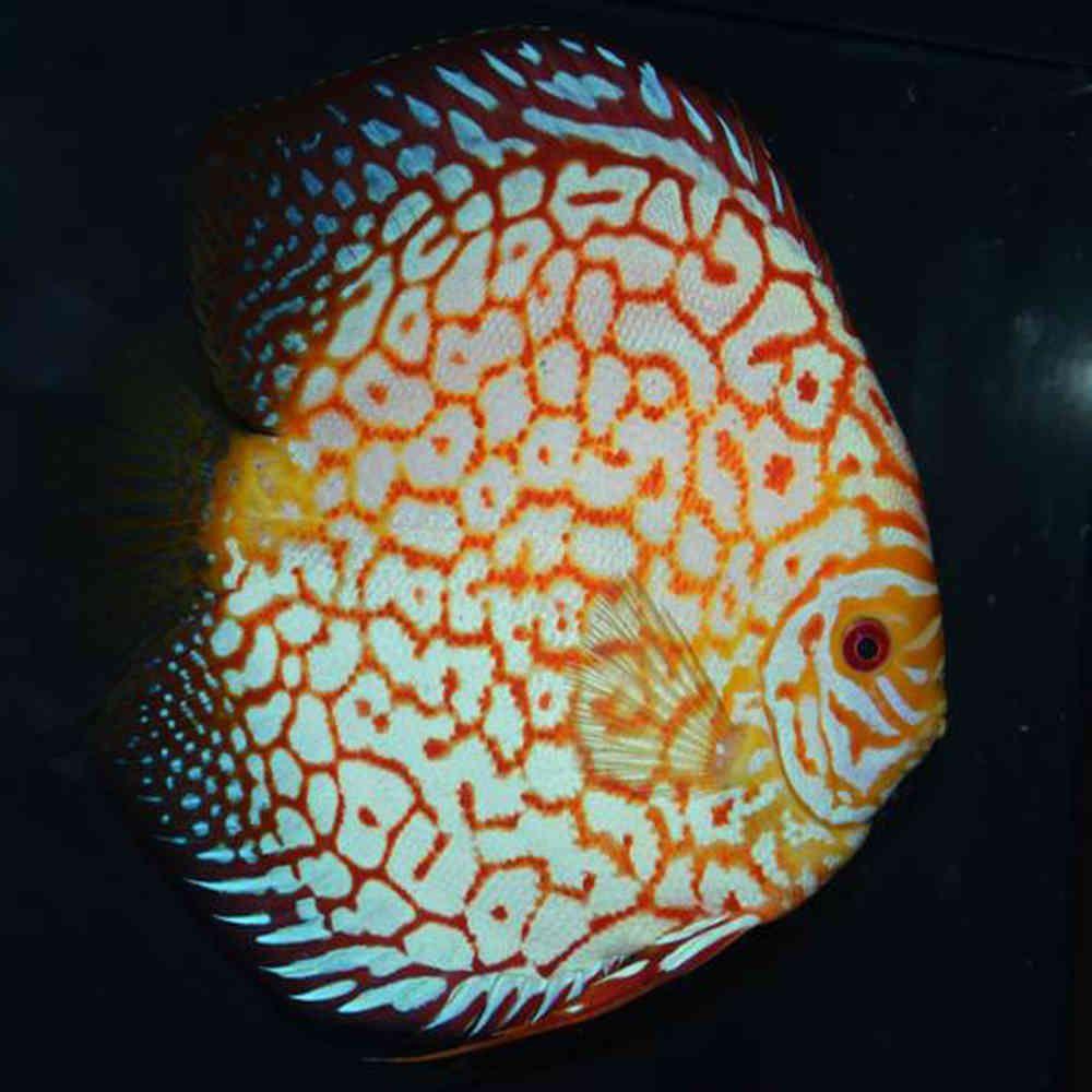 Checkerboard Pigeon Discus Discususa Angelfishusa Discus Fish Discus Discus Aquarium