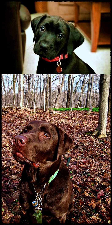 labradorretriever labpuppy Labrador retriever, Puppies