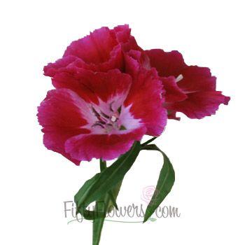 Dark Pink Bulk Godetias Fiftyflowers Com Flowers Dark Pink Pink Petals
