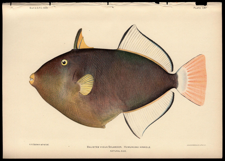 Julius Bien 1905 Pink Tail Trigger Fish Framed Art Prints Vintage Illustration Art Fish